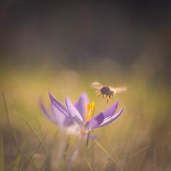Spring Feelings (ursulamller900) Tags: helios442 bokeh krokus crocus bee biene mygarden purple