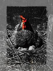 Chicken-not food! (jensjesberg) Tags: huhn tiere animal mother vegan schwarzweis blackwhite nofood xxx photoshop babychicken littlechicken küken