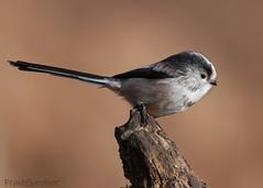 Long-tailed Tit (Frank Gardiner- No Awards Please-Comments Welcome) Tags: birdsofthebritishisles tit longtailedtit aegithaloscaudatus