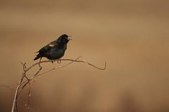 Red-winged blackbird (chmptr) Tags: oiseau passereau blackbird animalier animal wildlife bird passerine