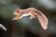 Red Squirrel Leaping (Karen Miller Photography) Tags: redsquirrel squirrel scuriusvulgaris mammal animal scotland cairngorms scottishwildlife scottishhighlands nature behaviour habitat winter snow