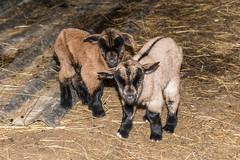 Valentine et Valentin : JOUR 1 (ChtiFamily) Tags: animal chevreau bambino niño cordero kid lamb agneau kind lamm beautiesbeasts