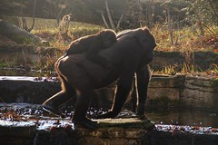 DSC00083 (Christine Gerhardt) Tags: affe deutschland gorilla gorillagorilla stuttgart tierfoto wilhelma zoo