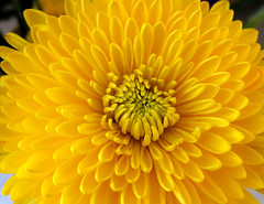 Golden Yellow Petals (shelly.morgan50) Tags: shellymorgan50 panasoniclumixdczs200 chrysanthemum flower flowerphotography goldenyellow petal petals macro bouquet midwest usa nature bright colorful cheerful yellow macroflowerlovers flowerscolors