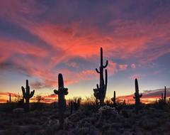 Desert evening, pastel skies (allophile) Tags: silhouette sky sonorandesert iphonex arizonapassages tucson arizona cactus sunset desert