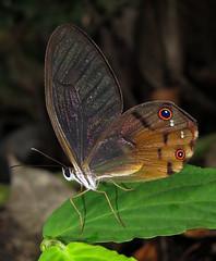 Haetera piera (hippobosca) Tags: butterfly ecuador satyridae haeterapiera macro insect lepidoptera satyr