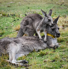 hey there...... (littlestschnauzer) Tags: australia 2020 kangaroos kangaroo marsupials animals young nature baby mother together