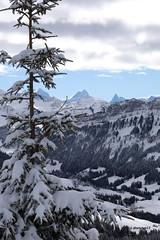 Berge hinter schneebedeckter Tanne (phototom12) Tags: winter tanne schnee berge himmel schneebedeckt schneebedeckte
