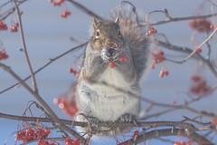 Écureuil gris - Gray squirrel, Québec, Canada - 5468 (rivai56) Tags: écureuil gris mangeant des petits fruits rouges du cormier gray squirrel eating small red berries écureuilgris graysquirrel québec canada 5468