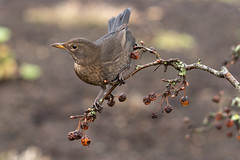 Blackbird (jillyspoon) Tags: blackbird birds sony 85mm sony85mm sonya7iii