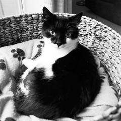 Polly in b& w (hedgehoggarden1) Tags: polly blackwhite cat pet animal sonycybershot norfolk uk cats bw sony captureoneexpress rescuecat deaf
