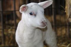 What a sad day, 15-2-2020, not this lamb (excellentzebu1050) Tags: lamb newborn newlife animal livestock closeup indoors farm coth5