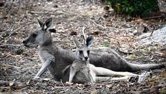 Kangaroos (littlestschnauzer) Tags: kangaroos animals australia wildlife 2020 nature mum child parent mother anglesea golf course tour wild baby