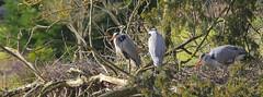 Nesting Grey Herons (Adam Swaine) Tags: nesting nests herons greyherons birds englishbirds britishbirds rspb naturelovers nature naturewatcher naturereserve england english britain kelseypark beckenham canon adamswaine 2020 trees counties walks wildlife wild perching naturesfinest