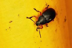 Beetle (Nightgoose) Tags: bug beetle besouro coleoptera macroringlitemr14exii