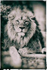 DSC00041 (Christine Gerhardt) Tags: asiatischerlöwe deutschland löwe stuttgart tierfoto wilhelma zoo
