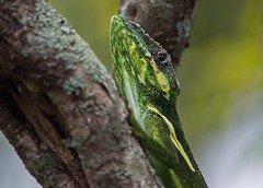 Has His Eye On Me (ACEZandEIGHTZ) Tags: anolisequestris nion kd3200 knightanole nikond3200 macro closeup lizard reptile bokeh tree branch nature