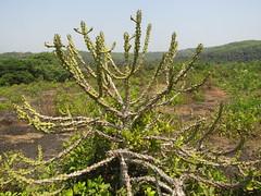 IMG_5241 walking across to kudlee (belight7) Tags: big cactus walk gokarna india south travel asia karnataka