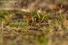 Twite (Linaria flavirostris) (gcampbellphoto) Tags: twite linaria flavirostris finch bird avian nature wildlife county antrim northern ireland gcampbellphoto grass