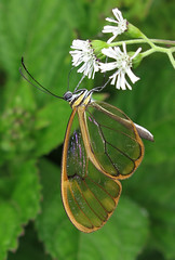 Greta depauperata (Over 6 million views!) Tags: butterfly ecuador gretadepauperata insect butterflies nymphalidae
