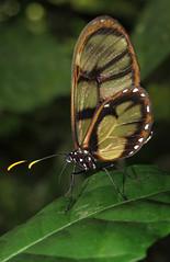 Dircenna adina (Over 6 million views!) Tags: butterfly ecuador nymphalidae dircennaadina insect butterflies