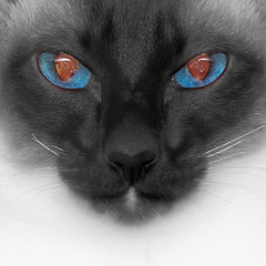 I see your life (MomoFotografi) Tags: cats cat catseyes eyes color selectivecolor bw siamese chat chatte closeup 300mm f4 is pro best face portrait animal olympus zuiko mzuiko fourthird