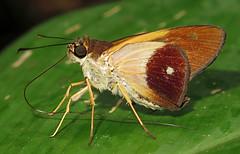 Saliana antoninus (hippobosca) Tags: butterfly ecuador hesperiidae insect lepidoptera macro skipper salianaantoninus