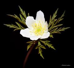Anémone des bois (faerlynn) Tags: fleur blanche anemone nemorosa petale sepale botanique nature plante etamines jaune delicat flower white naturaliste naturepics flowerspics nomen delicate beauty nikon sigma
