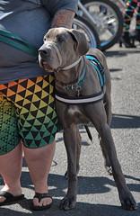 What-sup Big Dog (Scott 97006) Tags: dog size big canine animal pet cute shorts