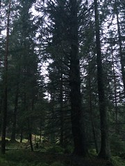 Photo of Norway Spruce woodland - Picea abies