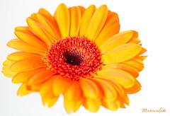Marmalade (Deborah S-C -In The Fairy Garden) Tags: marmaladecolour shadesoforange orange gerbera big daisy petals anthers stamen stigma filaments pollen beauty vibrant colourful white popping
