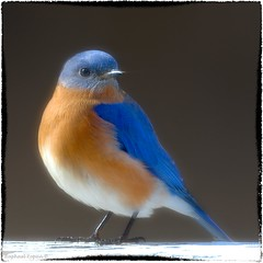 """""""our"""" bluebird (RKop) Tags: raphaelkopanphotography nikon 600mmf4evr home bluebirds"""