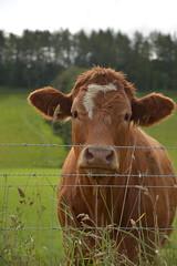 Scottish Cow (elparison) Tags: coth5 fence cow animal scotland