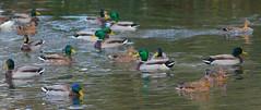Mallards UK (Adam Swaine) Tags: mallards ducks birds englishbirds britishbirds rspb naturelovers nature naturewatcher wildlife wild canon adamswaine water counties uk ukcounties countryside kelseypark beckenham parks