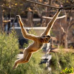 7M301377_monkey (greyhound rick) Tags: monkey zoo phoenix arizona phoenixzoo outdoors animal brown swinging rope fun happy sony alpha sonyalpha sonya7iii photoshop lightroom topaz island