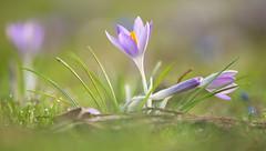 Feines Sonnenlicht (KaAuenwasser) Tags: krokusse krokus blüte blumen sonnenlicht sonne licht schatten fein feinessonnenlicht wiese rasen gras park garten schlossgarten bokeh februar 2020