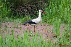 Une Alsacienne Girondine (Ezzo33) Tags: france gironde nouvelleaquitaine bordeaux ezzo33 nammour ezzat sony rx10m3 parc jardin oiseau oiseaux bird birds réserve cigogneblanche ciconiaciconia whitestork