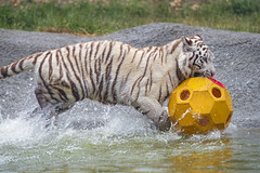 Carrying the ball (Tambako the Jaguar) Tags: action ball bengal big biting carrying cat crémines cute d5 female fun holding nikon orange playing pond profile running sikypark switzerland tiger tigress toy water white wild yellow young zoo
