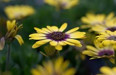 3D daisy (M42Junkie) Tags: mamiyasekor55mm14m42 pentaxk10d m42 macro macrotubes m42mount vintagelens vintagesensor vintagecamera bokeh yellow purple green sanantonio texas 3d wideopen