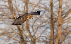 Northern Harrier (NicoleW0000) Tags: northernharrier hawk raptor birdofprey bird birdinflight flying wings hunting nature naturephotography wildlife february