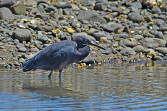 Reef Heron (bevanwalker) Tags: d750 nikon 300mmf28tc17e11 lens wader bird water oysters rocks beach sea sand tide estuary strong fishing meal fish fresh sky light time summer outdoor nature outside native wildlife stealth beak large moment watching paradise newzealand 2020