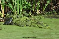 Alligator wearing his scum suite in waiting (wayne kennedy EDD) Tags: alligator gator pondscum wetlands lakeapopkawildlifedrive centralflorida reptile