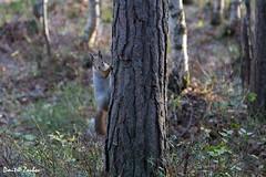 Hi everybody! (Dmitri Zoubov) Tags: forest autumn squirrel treetrunk