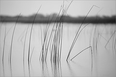 song of solitude - vii .. (nevil zaveri (thank you for 20+M views:)) Tags: zaveri gujarat gujrat nalsarovar grass minimal minimalist minimalism monochrome bw blackandwhite india photography photographer photos blog stockimages photograph photographs nevil nevilzaveri stock photo water dry color myfav image poem poetic poetry lake nature wilderness lines reflection