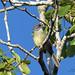 Zapata Sparrow - Santo Tomas, CU