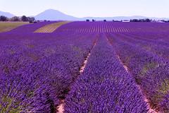 P1140796 (alainazer) Tags: valensole provence france fiori fleurs flowers fields champs ciel cielo sky colori colors couleurs lavande lavanda lavender