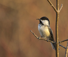 Black Capped Chickadee, snackin'..... (Kevin Povenz) Tags: 2018 april kevinpovenz westmichigan michigan ottawa ottawacounty ottawacountyparks grandriverpark bird songbird outdoors outside nature wildlife chick chickadee branch canon7dmarkii sigma150500