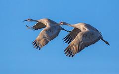 Synchronized Fliers (trekok, enjoying) Tags: 1l8a0041c crane sandhill