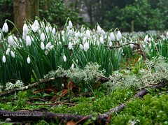 Photo of 2020 02 07 - Snowdrops in a natural setting