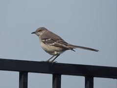 Northern Mockingbird, February 15, 2020, Glendover Park, Allen,Texas (gurdonark) Tags: bird birds wildlife glendover park allen texas northern mockingbird
